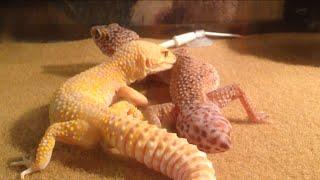 Leopard geckos mating!