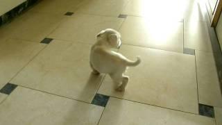 Schnauzer Nano Bianco Cucciolo Di 55 Giorni