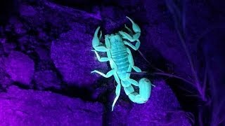 How To  Hunt Scorpions At Night With A UV Flashlight