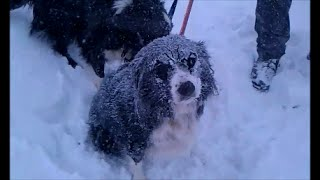 Border Collie in the snow looks like Gene Simmons