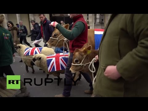 UK: Sheep and cows roam London's streets during farmers protest