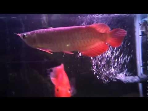 """ปลามังกรแดง super red hi quality 9"""" by Bankunta"""