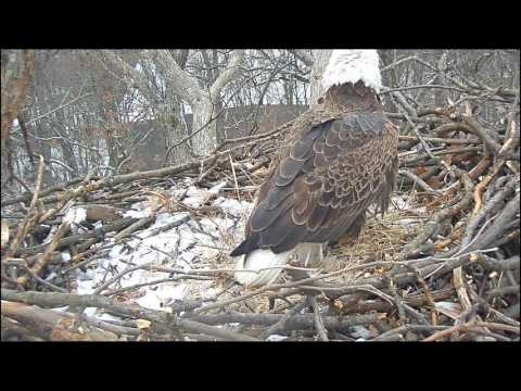 EAGLE CAM 2017- Eagle brings fish back to the nest, fight breaks out -  ECC, MPDC - Washington, DC