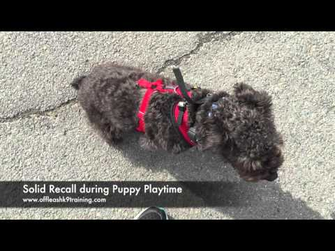 10 Month Old Schnoodle, Phineas!  Best Dog Training Virginia | Best Trainers
