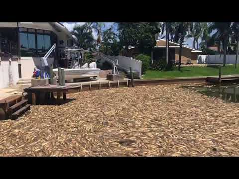 Red tide leaves Bradenton canals full of dead fish