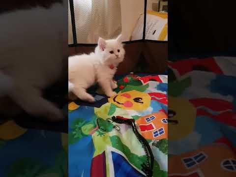 SIBERIAN NEVA MASQUERADE kitten