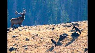 Охота на оленя рев гон благородный олень