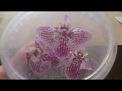 Сломался цветонос у орхидеи. Что можно сделать?