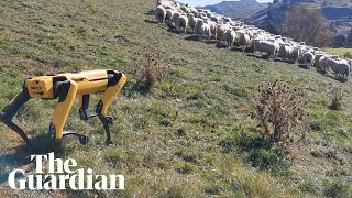 How a robotic dog is herding sheep in New Zealand