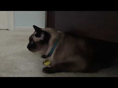 Siamese cat hiding and meowing loudly under a bed