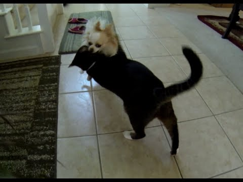 Small Dog vs Big Cat