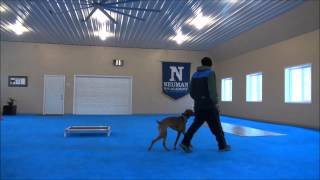 Penny (vizsla) Dog Training Video