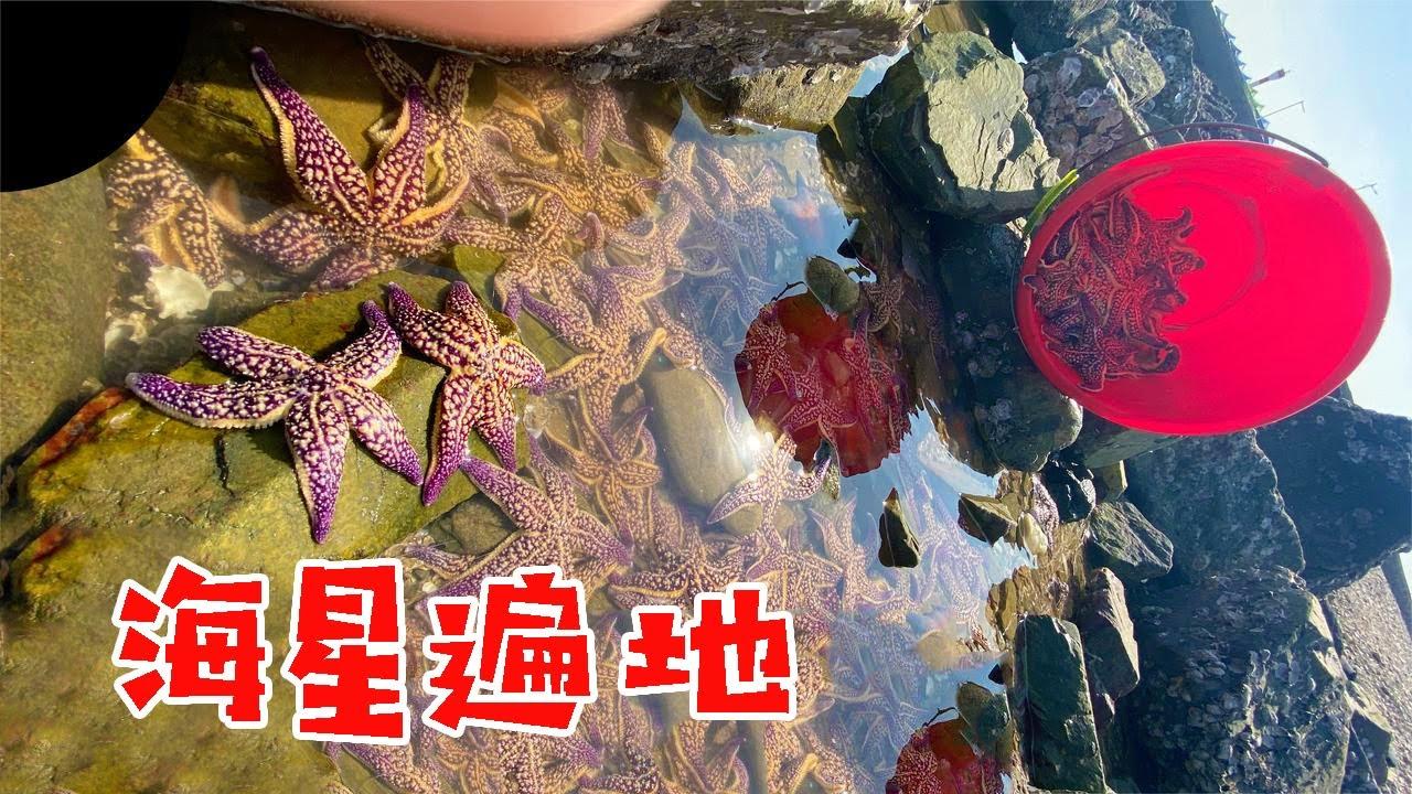 【English sub】海边渔船抛下成百上千的海星,密密麻麻遍地都是!小章赶海捡爆桶了!【赶海小章】