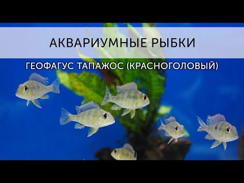 Аквариумные рыбки. Геофагус Тапажос красноголовый.