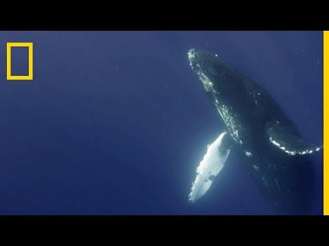 Le chant de la baleine à bosse
