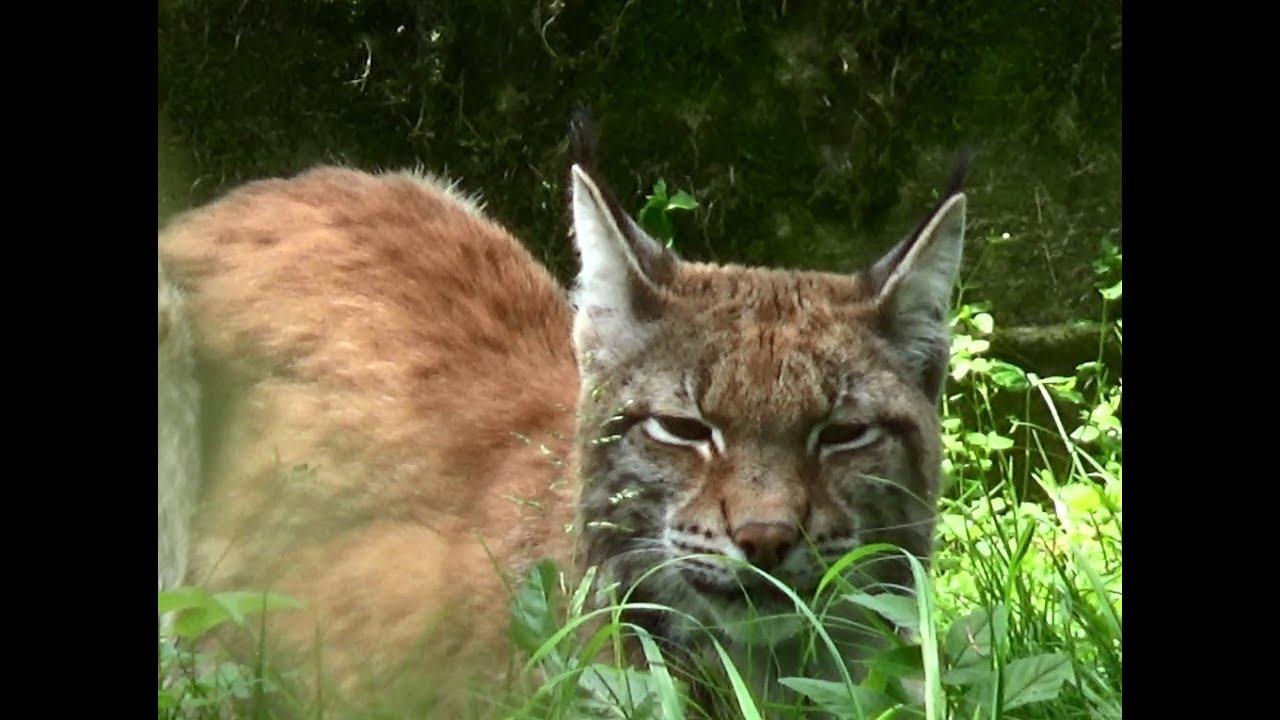 Lynx Białowieża National Park Białowieża Podlaskie