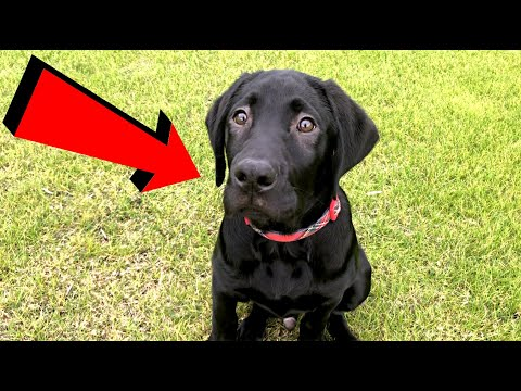 Labrador Puppy Plays At The Park!!