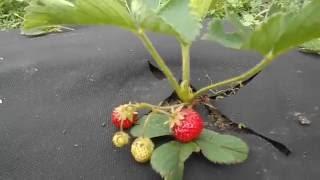 Выращивание клубники.The cultivation of strawberries.(В этом видео я покажу как я выращиваю клубнику на агроволокне высокие грядки. In this video I show how I grow strawberries on..., 2016-05-30T19:39:00.000Z)