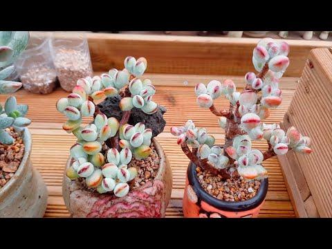 (ENG)방울복랑금! 다육식물 재테크 Invest Succulent Variegated Cotyledon Orbiculata (多肉植物)(たにくしょくぶつ)