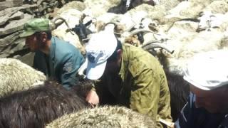 В селе хвередж как доят коз и барашек Агул