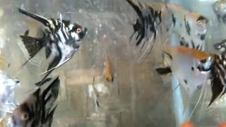 vuclip Ikan Manfish