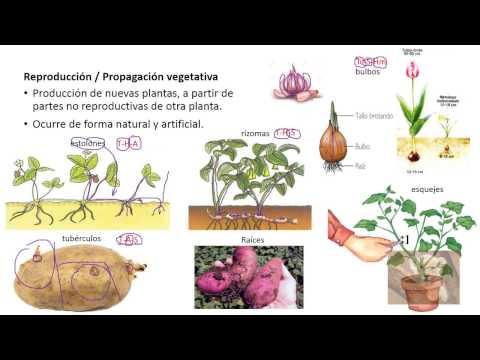 Cuales son las plantas que se reproducen sexualmente y asexualmente