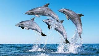 Учёные расшифровали речь дельфинов. Факты  которые удивляют. Док. фильм.