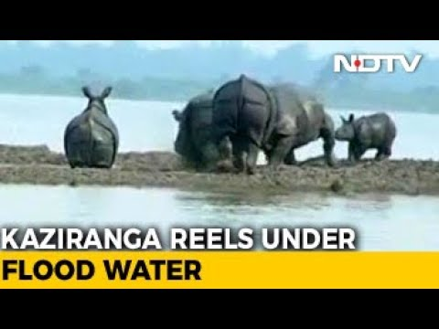 Assam Flood: Kaziranga Rhinos Flee To High Ground