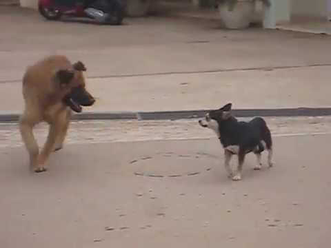 A Dog Fight in the Dominican