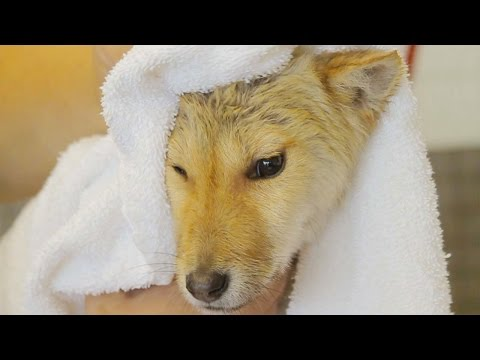Shiba Inu Mix Pup Rescued From Dog Meat Market Gets a Bath And a Home