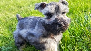 Maya the Adorable Miniature Schnauzer Puppy in Training