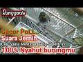 Rengganis Cucak Wilis Gacor Cocok Untuk Pancingan  Mp3 - Mp4 Download