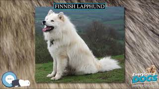 Finnish Lapphund  Everything Dog Breeds