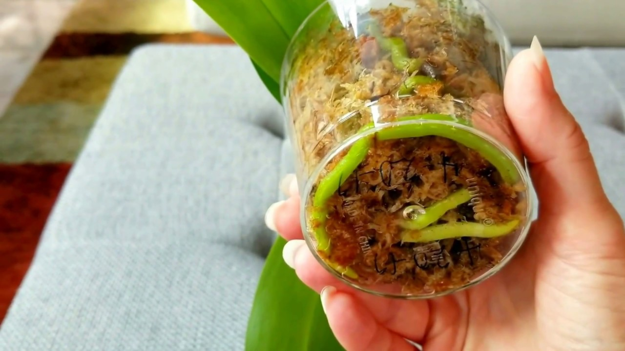 Choosing containers for orchids growing in moss. Can you place a rootless orchid in water ...