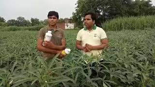 यदि आप भी करना चाहते हैं भिंडी की शानदार खेती तो अपनाइए जैविक विधि  9236114711