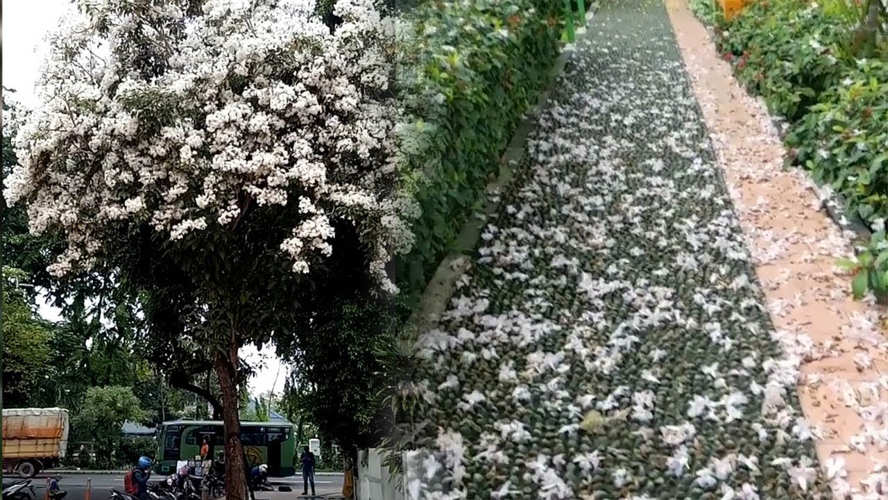 Surabaya Mirip Jepang Bunga Sakura Mulai Mekar Dan Tambah