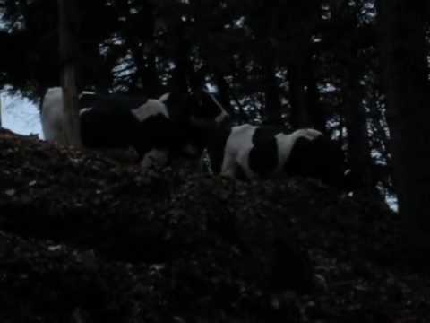 Cows in the West Clark Woods