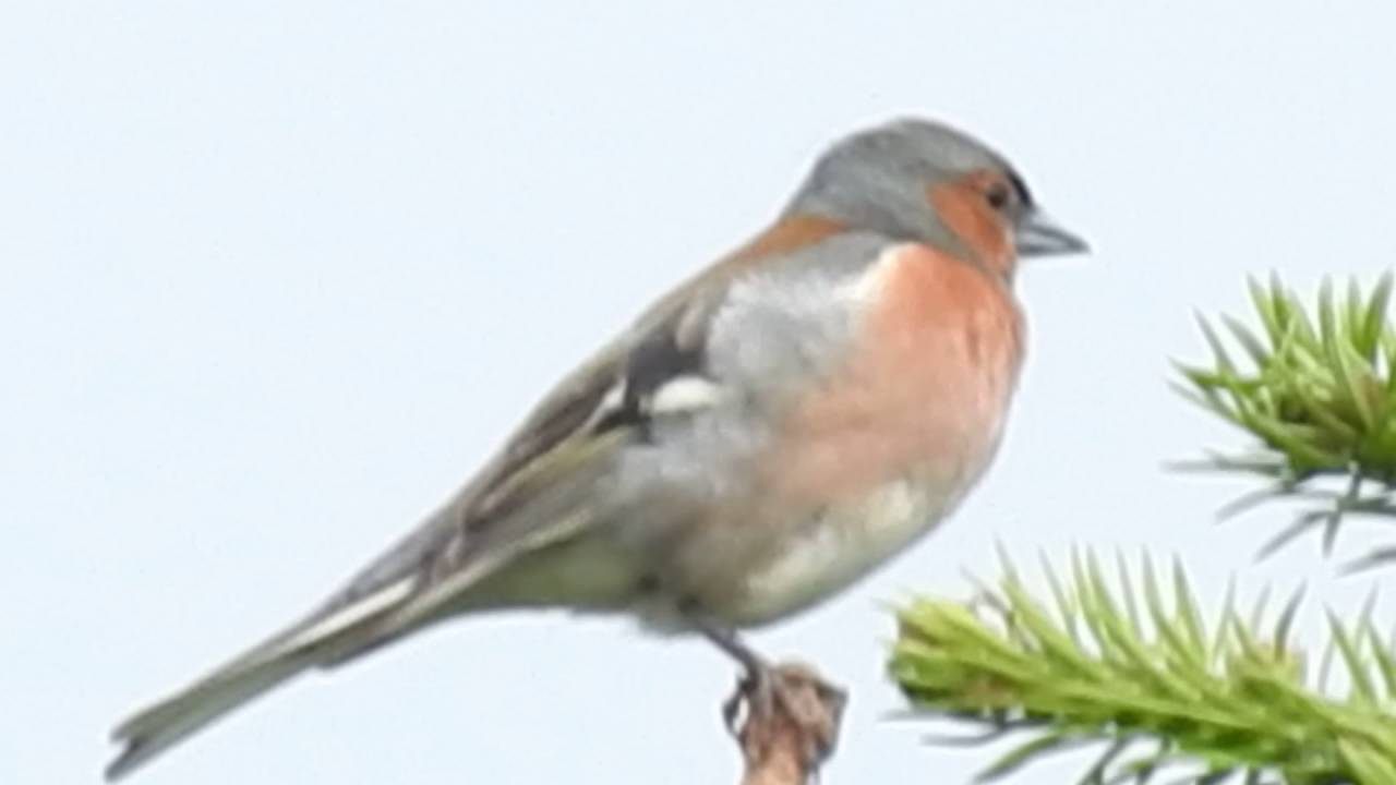 buchfink gesang