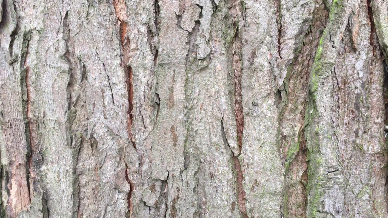 Silver Maple Acer Saccharinum Bark Close Up March 2018 Youtube