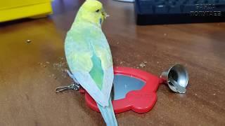 Первые прогулки волнистого попугая после приручения || 3й раз выпускаю Арчи