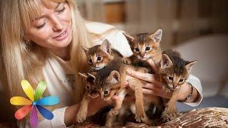 Топ-5 самых дорогих пород кошек, которые вам не нужны! - Все буде добре - Выпуск 590 - 28.04.15(Купив новомодную породу котенка, вы можете приобрести еще и набор проблем – дорогостоящие ветеринарные..., 2015-04-28T15:00:01.000Z)