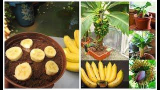 Antes de Plantar Banana da Semente – Veja este Vídeo