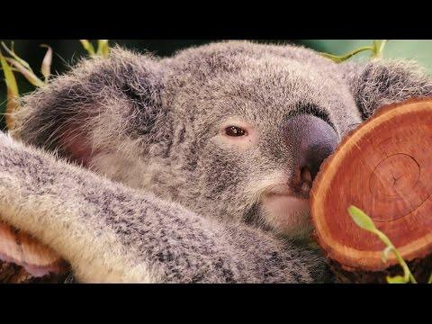 Cuddly Koala - Short Trip To Australia (Cairns/Kuranda)