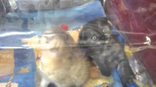 красивые вислоухие котята