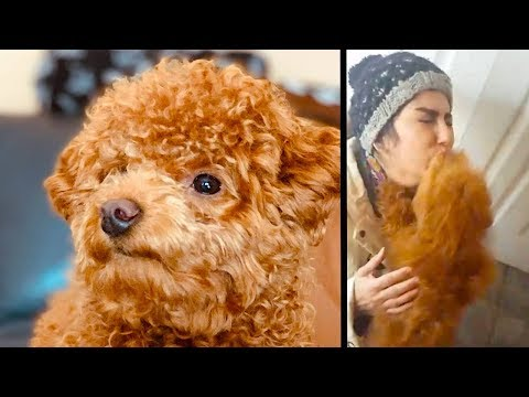 Miniature Poodle reacts to Owner coming back Home from the Hospital