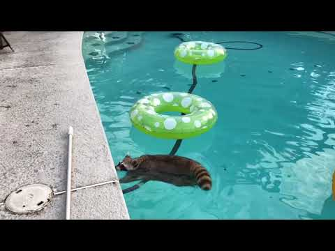 Willie Raccoon takes his morning swim