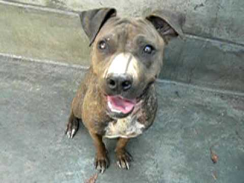 Playful Happy Brindle Lab Mix In A Sharpei Body A251436 At
