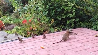 Vroege Vogels - Strijd tussen mus, muis en rat