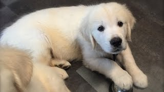 9 Week Golden Retriever Puppy Learning The Bell