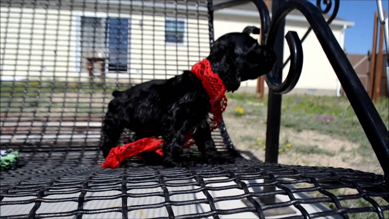 dugan cocker spaniel puppy for cocker spaniel puppies for sale www maryscockerhaven com 4716